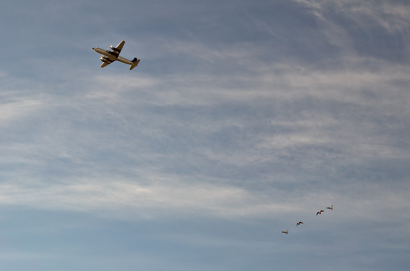A DC-6 in the air over Creamer's Field as some geese are arriving in the morning. This is April in Fairbanks.