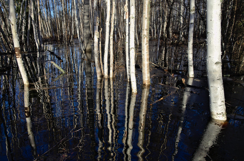 The birch trees are in about 2-3 feet of water near the seasonal wetlands.