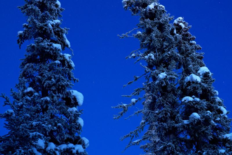 Starry Spruce