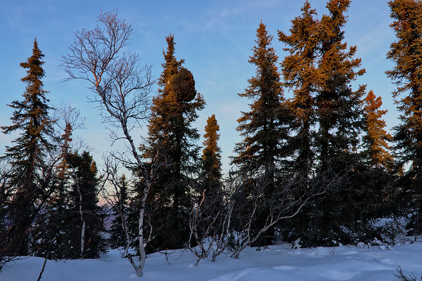 Tangly Birch