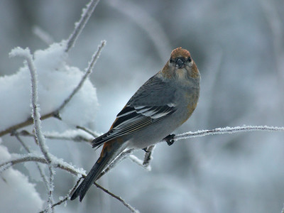 Juvenile or Female Pine Grosbeak
