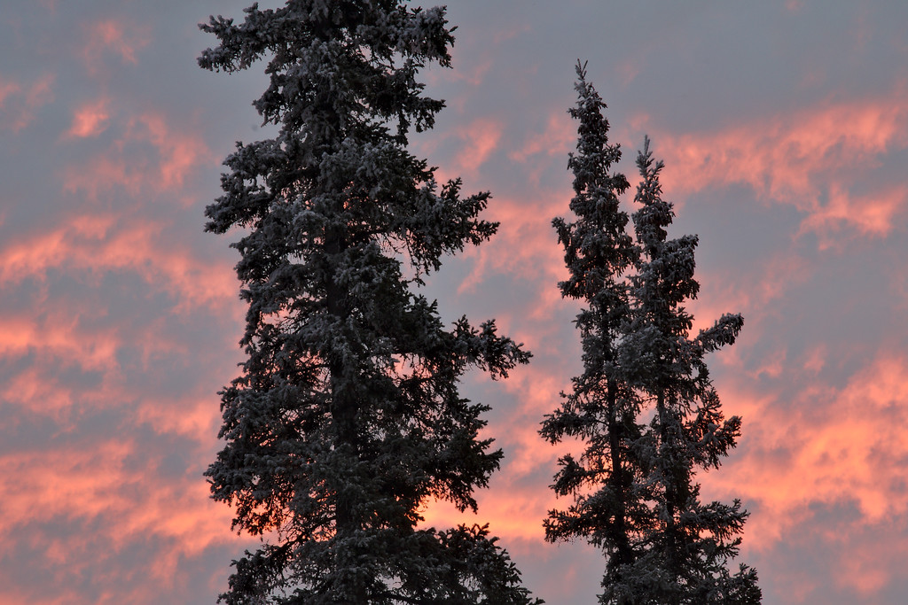 Pastel skies and white spruce