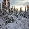 taiga - boreal forest in winter