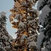 light through snow and spruce