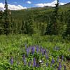 Lupins - Denali National Park