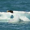 Seat Otter on Iceberg