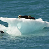 Sea otter on iceberg