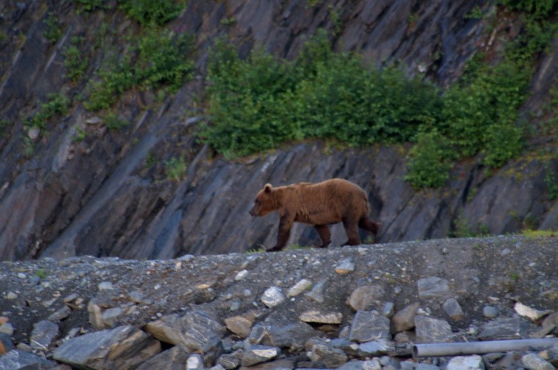 Brown bear at the hatchery in Valdez