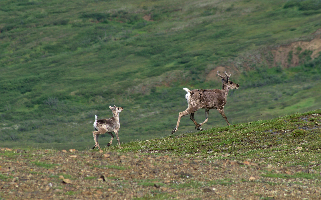 Caribou prancing at the top of the Eielson Alpine Trail