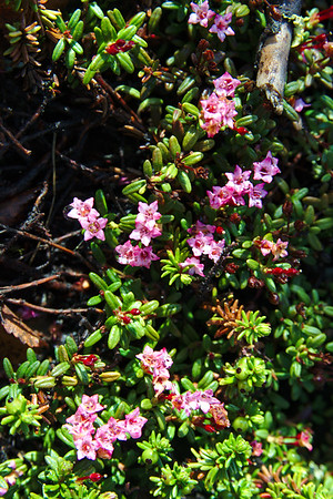 Alpine azalea (Kalmia procumbens) a wildflower in Alaska