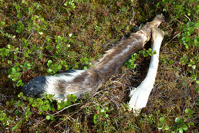 I managed to quickly grab the caribou leg from the dog the moment he picked it up. We know from experience that it does not help his already bad breath.