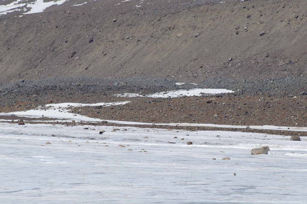 We were packing up to head out for the day when we spotted this lone black bear strolling down the glacier. We kept an eye on him for a while, but lost sight as he entered the moraine.