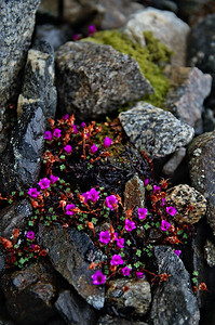 Purple Mountain Saxifrage