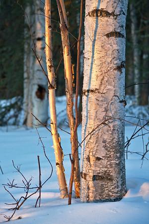 Morning light hits the birch trees