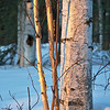 Morning light hits the birch trees