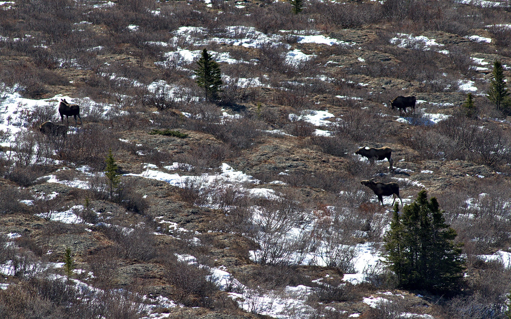 Moose congregating in a valley in Denali National Park