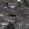 A closer shot of 3 of the Moose down below.