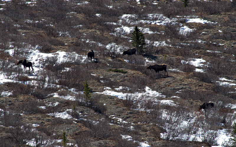 I spent about 40 minutes watching 6 moose from the ridge above in Denali National Park. Most of them were on the ground early in the morning, then on my way back down later in the day all but one were up and grazing. This was the closest shot that I could get five of them together.blogpost: https://lwpetersen.com/photo-blog/travel-alaska/2014/03/early-spring-hike-denali-national-park