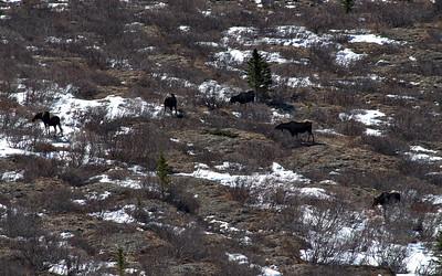 I saw some moose!