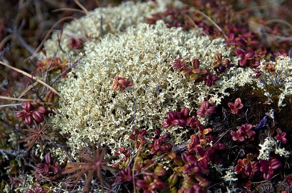 Lichen and Cranberries