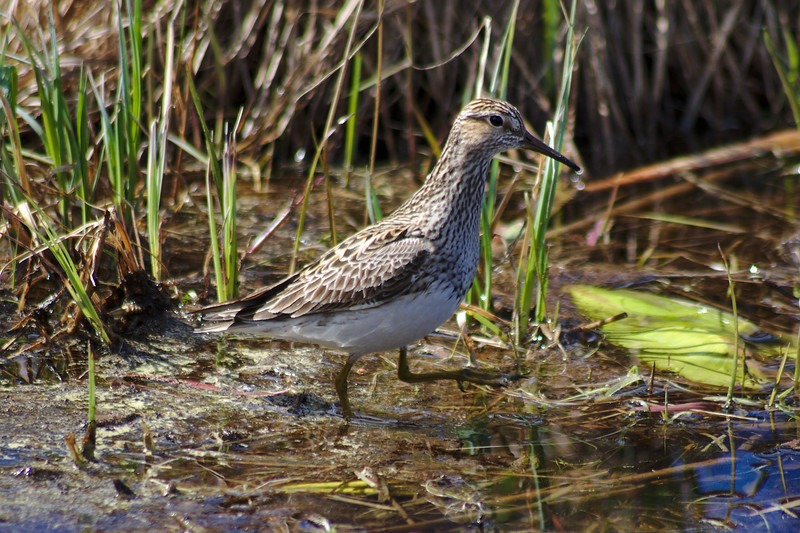 Wood sandpiper at Smith Lake