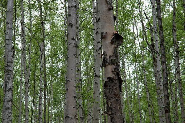 Greening birch trees