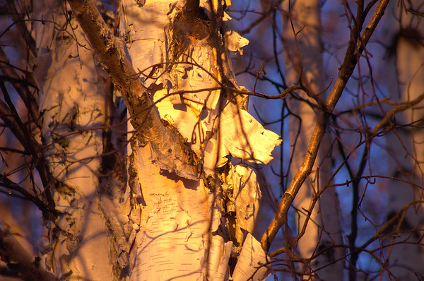Paper Birch in the Morning