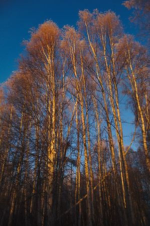 Sunlight on birch