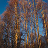 Sunlight on birch