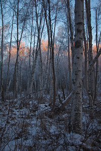 Birch Forest Morning
