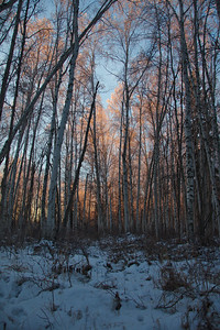 Birch Forest Morning Light