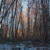Birch Forest Morning Light