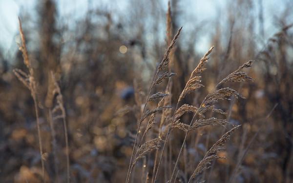 Still grasses in Fairbanks
