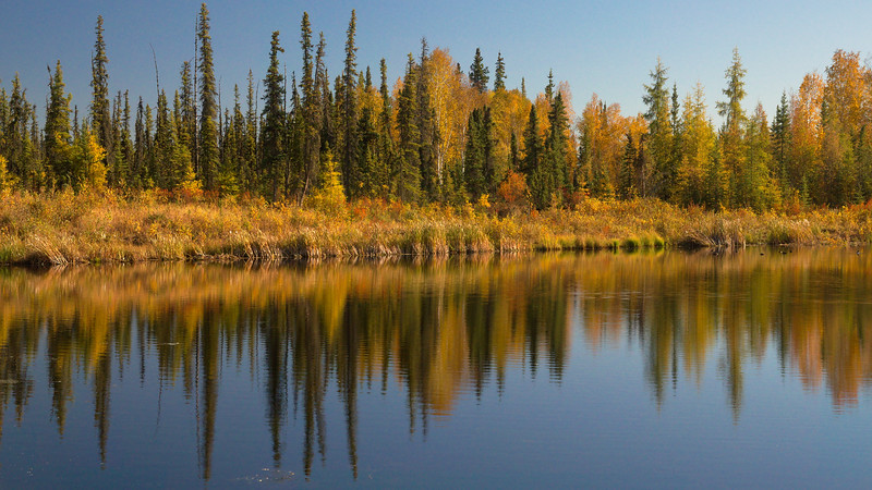 A boreal forest in fall foliage reflecting in a pond in Fairbanks, Alaska