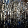 Reflected Birch