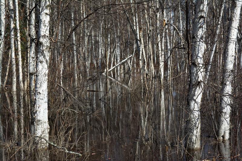 Birch Wetland