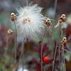 Alaskan Cotton
