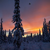 Raven Sunrise
