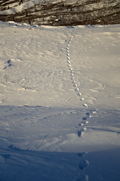Lynx tracks traversing a moraine on the Castner Glacier into the Castner Creek drainage.