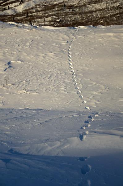Lynx tracks in the snow over Castner Creek