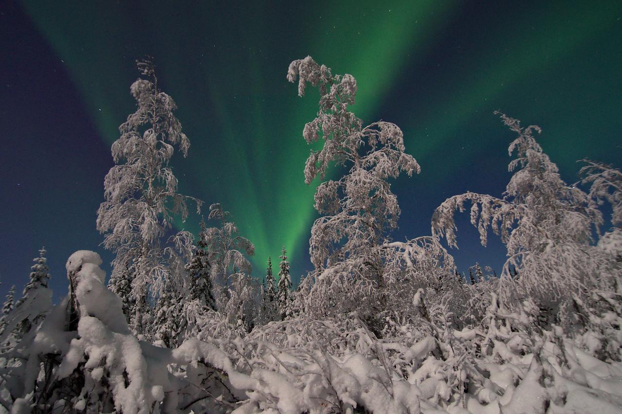 Snow-draped birch trees under the Northern Lights