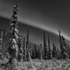 Sparse spruce under aurora