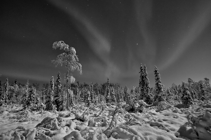 A gorgeous moonlit boreal forest in Fairbanks under a sky filled with aurora.