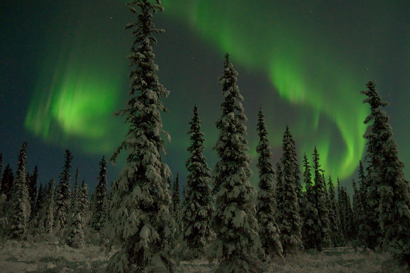 Very bright aurora over a spruce forest