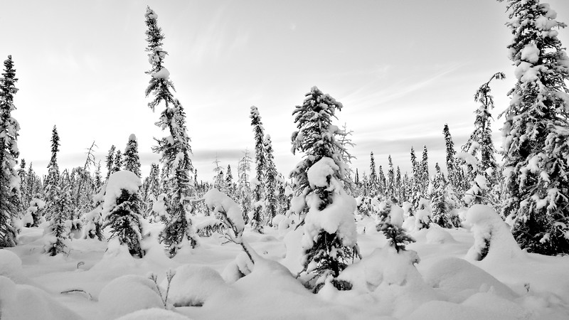 Permafrost stunted spruce forest covered in snow. This is a tough environment for these trees to grow in and some of them are quite old despite their short stature.