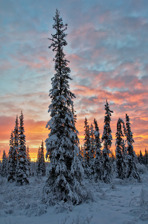 Spruce Sunrise