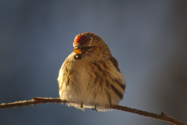 Red Poll in the Sun