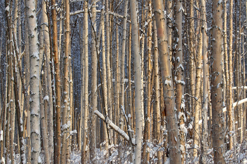 Dense birch forest in North Pole, Alaska at Chena Lakes State Recreation Area