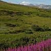 Fireweed and Denali