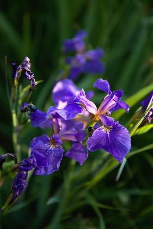 Wild Iris – Iris Setosa